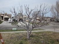 Magna Utah Apple Tree After Pruning