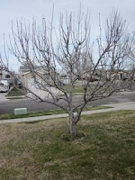 Magna Utah Apple Tree Before Pruning