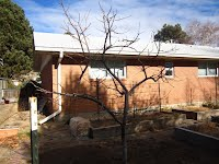Sandy, Utah Peach Tree After Pruning