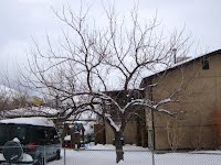 West Jordan Apricot Tree Before Pruning