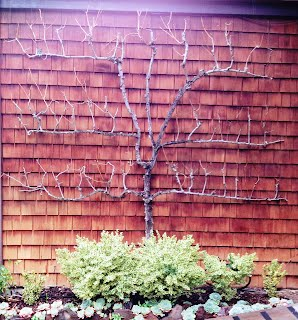 Espalier Fruit Tree Pruning Salt Lake City Utah